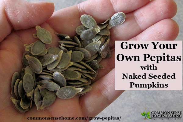 Ever wondered how they get the hulls off of pepitas? Choose hulless or oil seed pumpkins to grow pepitas in your home garden for a healthy, delicious snack.