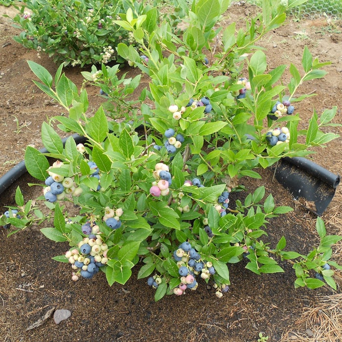 Healthy Blueberry Plant