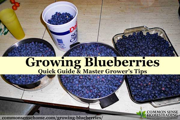 Growing Blueberries Quick Guide And Master Grower S Tips