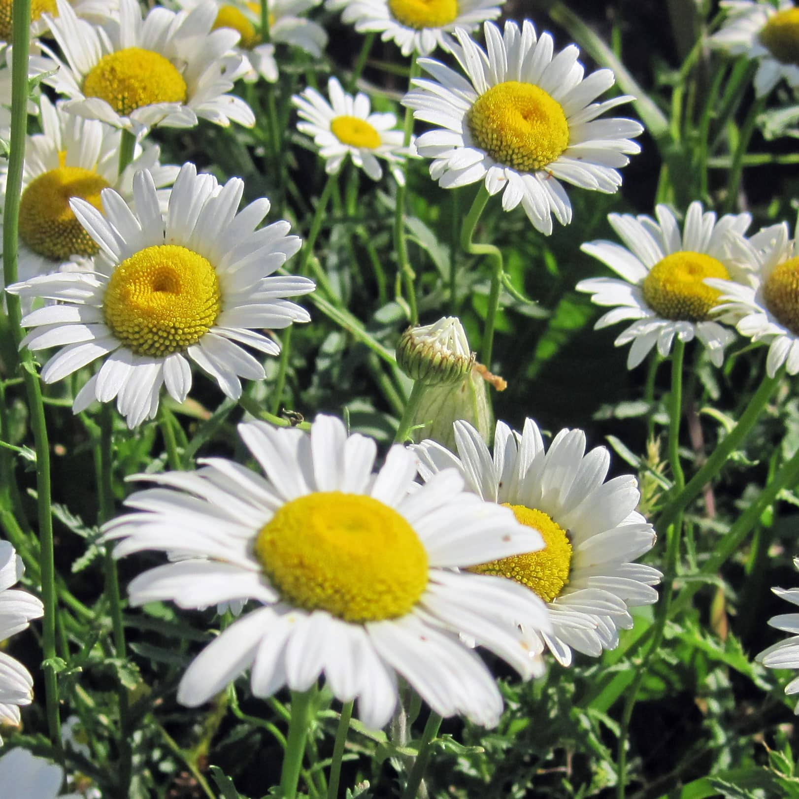 Ox-eye Daisy, Chrysanthemum leucanthemum - Weekly Weeder #18