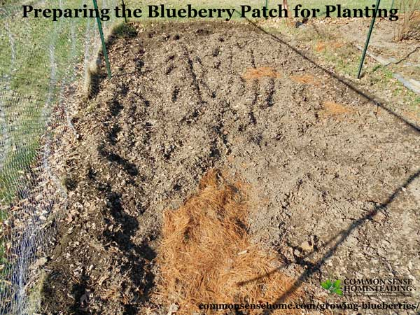 Quick guide to growing blueberries at home, plus detailed information to help you plant blueberries and produce your best blueberry harvest ever