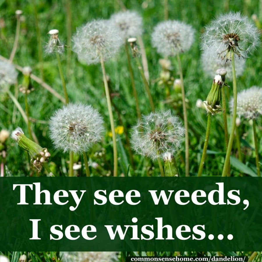 they see weeds, I see wishes - puffballs