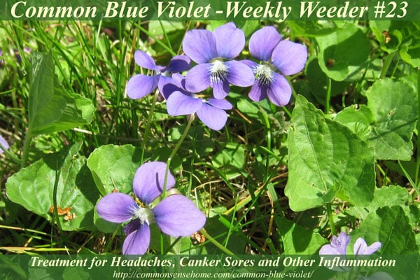 Range and identification of common blue violet, Viola sororia sororia, wildlife that eats common blue violet, culinary and medicinal uses of common violet.