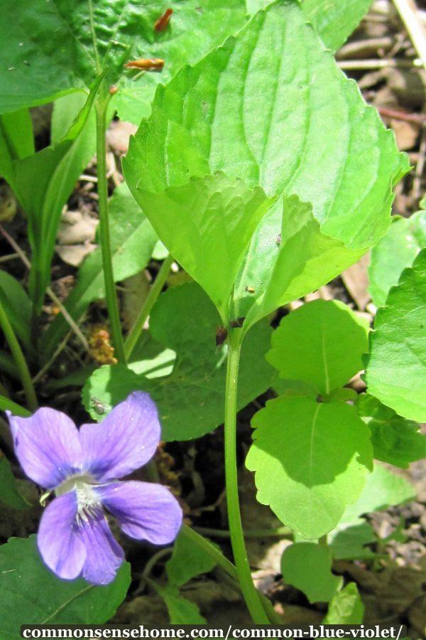blue violet leaf and flower