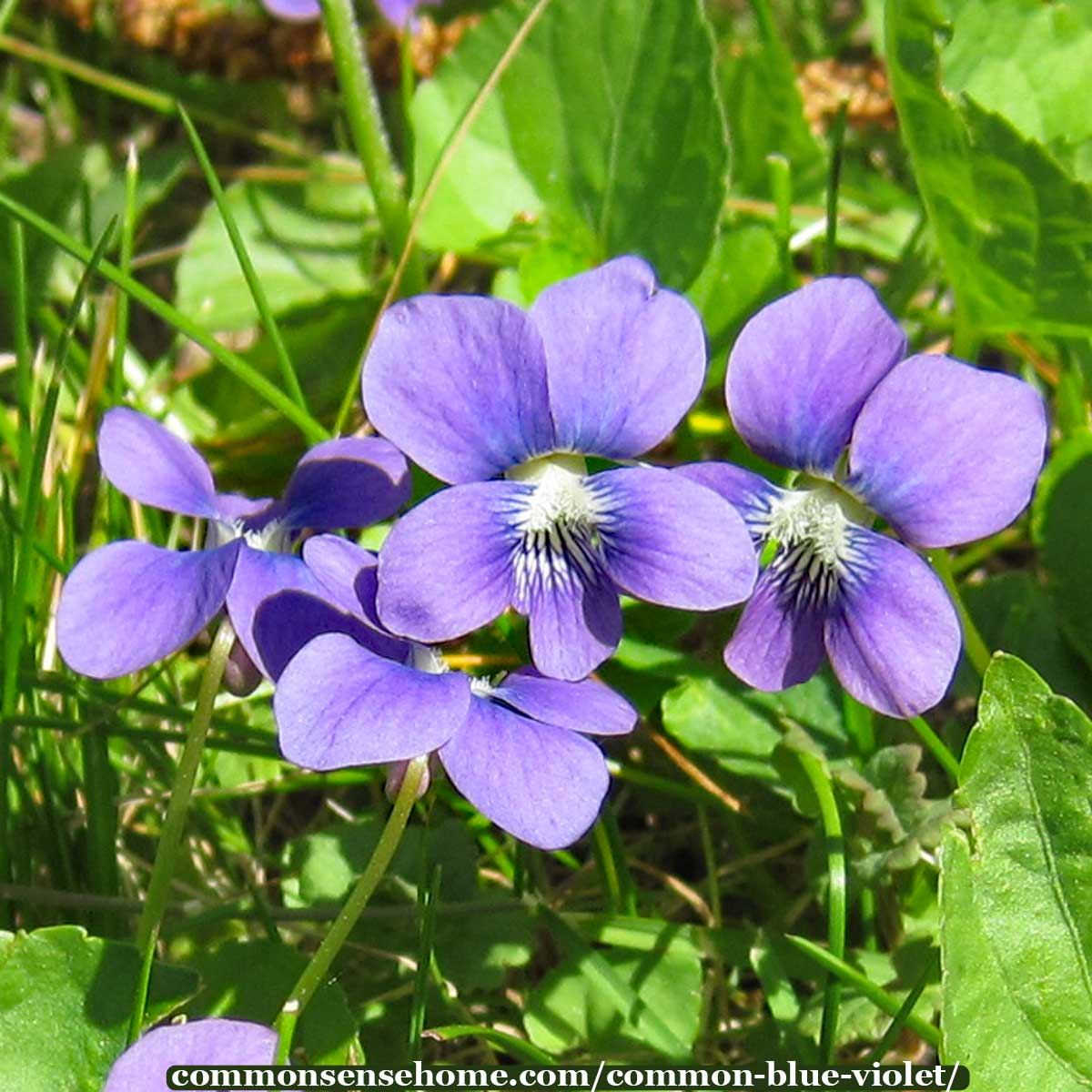 Common Blue Violet Soothing Medicine Inside And Out