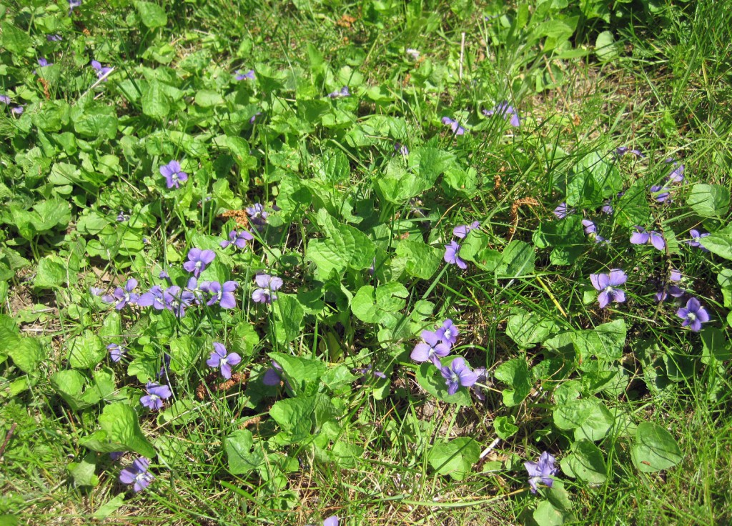 Patch of Common Blue Violets