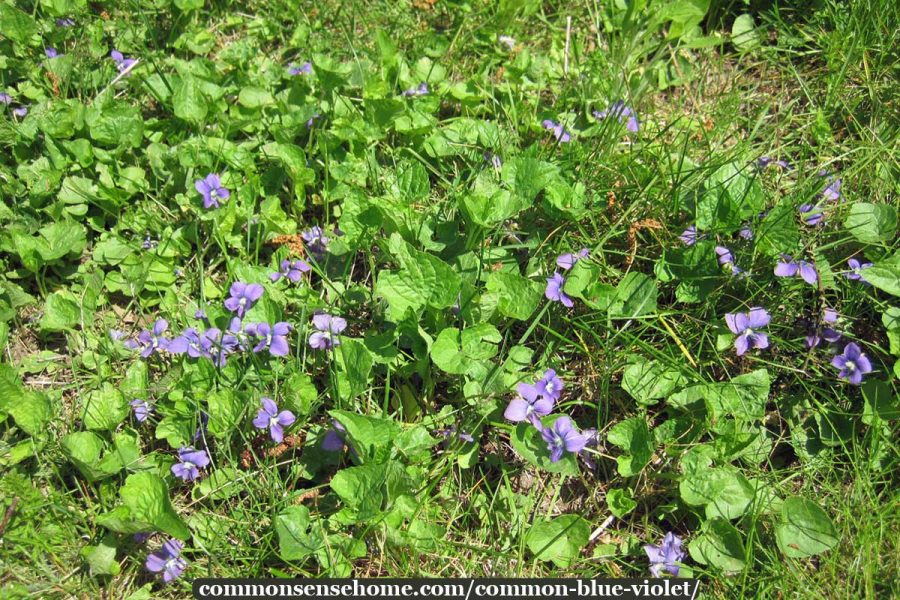 wild violets in a lawn