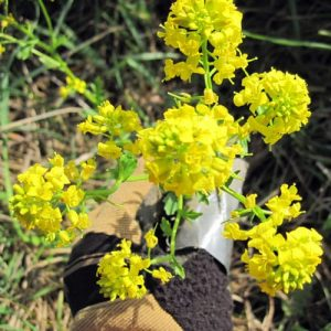 Winter Cress flower