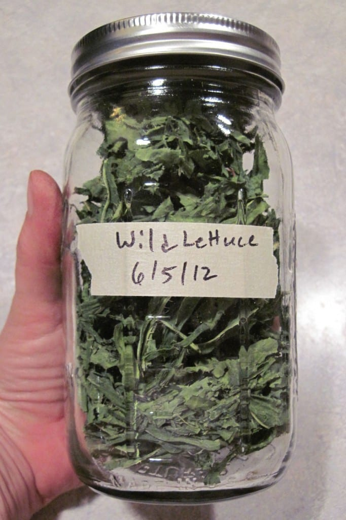 Dried Prickly Lettuce @ Common Sense Homesteading