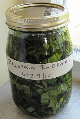 Plantain in Olive Oil at Common Sense Homesteading