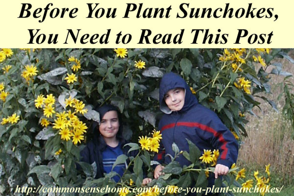 Before You plant sunchokes, you need to read this post.  What are sunchokes? What are the health benefits of sunchokes? Why you shouldn't plant sunchokes in your regular garden.