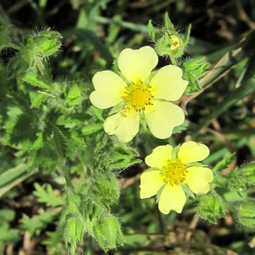 sulphur cinquefoil @ Common Sense Homesteading