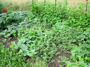 purslane ground cover in the cucumber patch