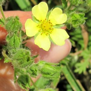 sulphur cinquefoil flower @ Common Sense Home