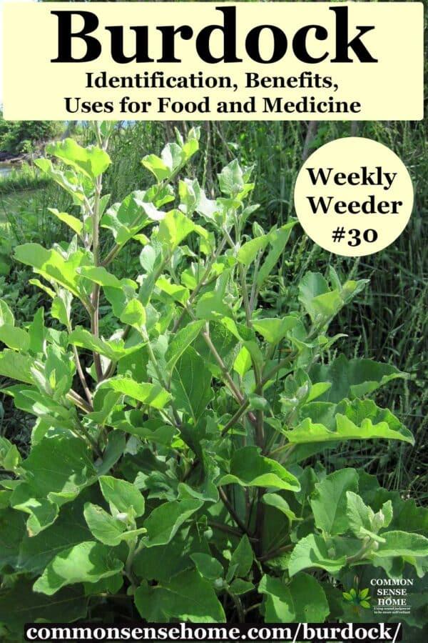 burdock plant - Arctium minus