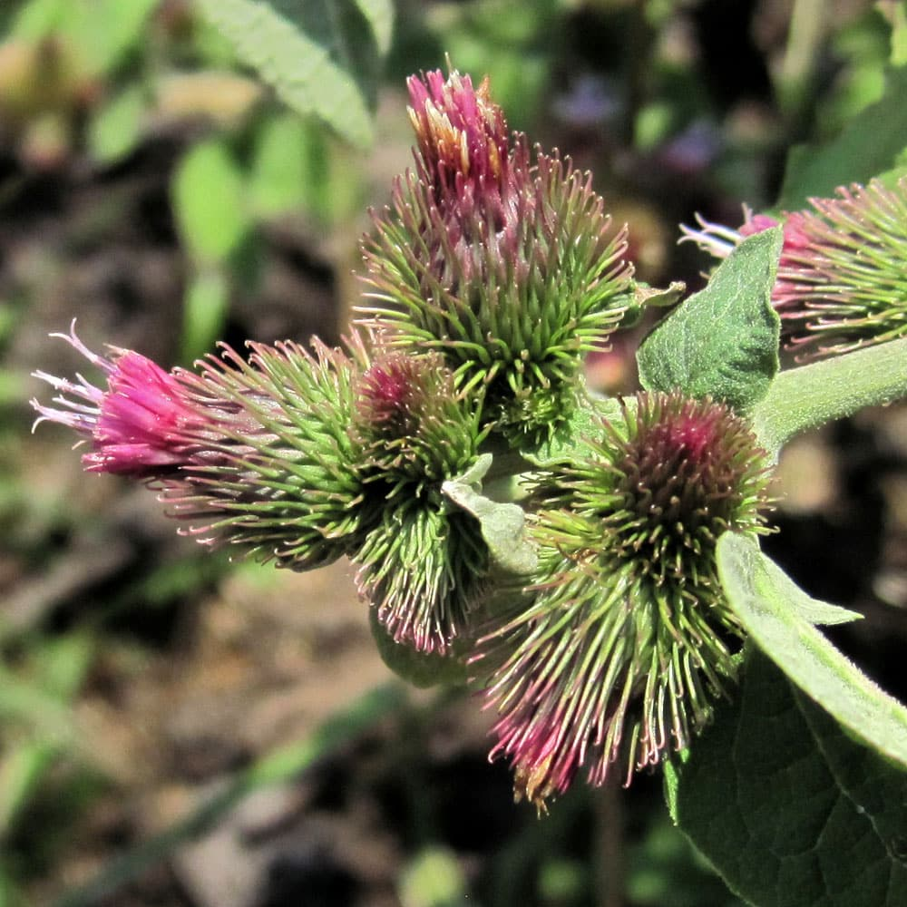 Common Burdock - learn about range and identification of burdock, use of burdock for food and medicine. wildlife uses of burdock.