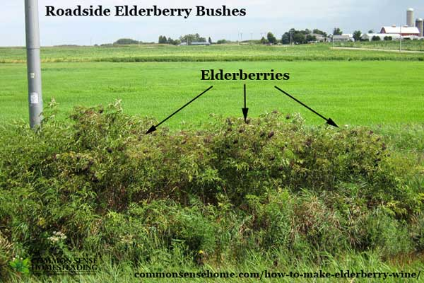 How to find elderberry bushes and make elderberry wine.