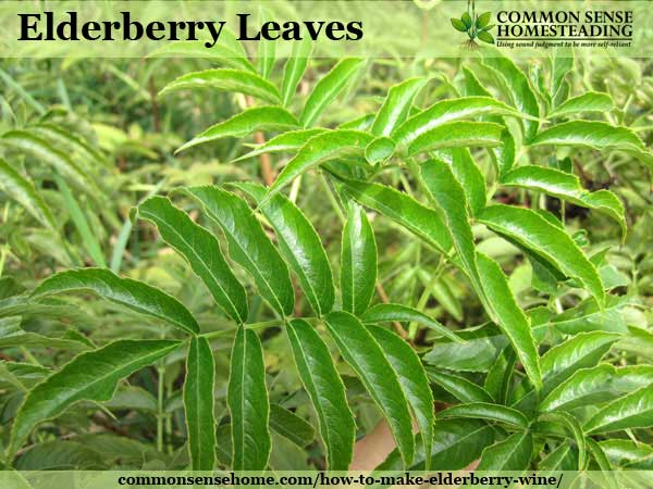 How To Make Elderberry Wine And Identify Wild Elderberry