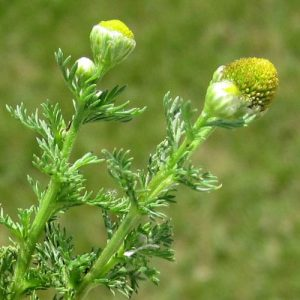 pineapple weed blossoms @ Common Sense Homesteading