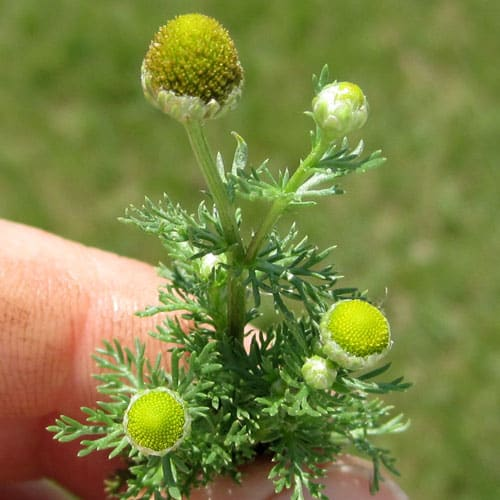 pineapple weed - Weekly Weeder @ Common Sense Home