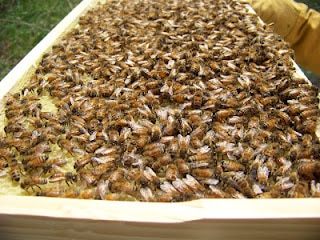 homestead bees
