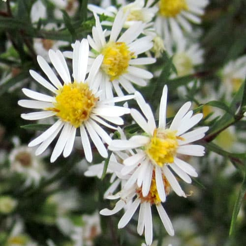 heath aster blossoms