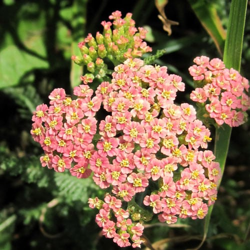 Yarrow Flowers @ Common Sense Homesteading