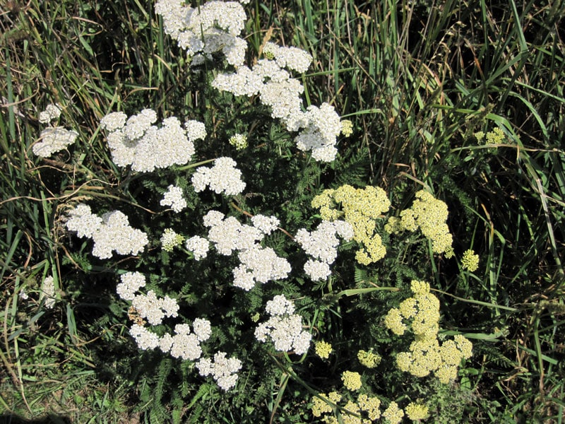 Common Yarrow Plants @ Common Sense Homesteading