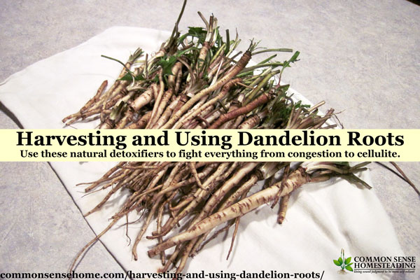 pile of washed dandelion roots sitting on a white kitchen towel