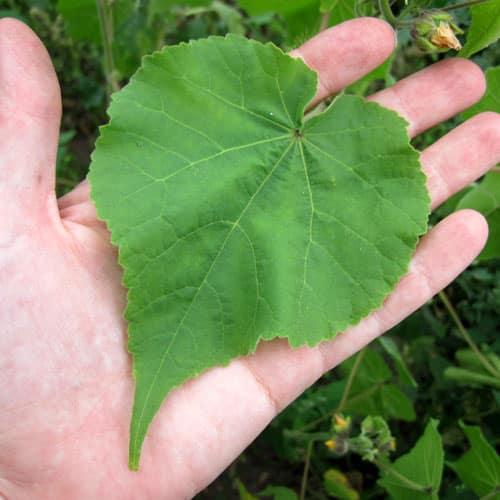 velvetleaf leaf