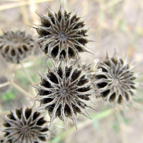 velvetleaf seedheads