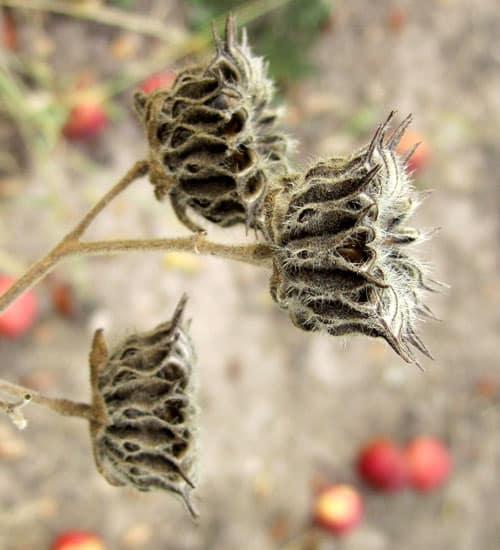 velvetleaf seedhead