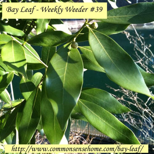 Bay Leaf—Weekly Weeder #39 @ Common Sense Home