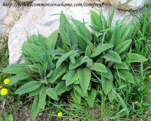 Comfrey - Weekly Weeder #40 @ Common Sense Homesteading