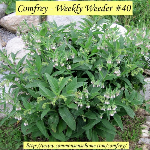 Comfrey - Weekly Weeder #40 @ Common Sense Home