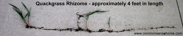 quackgrass rhizome