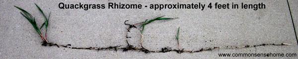 quackgrass rhizome