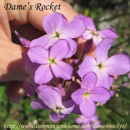 Dame's Rocket, Hesperis matronalis - Weekly Weeder #42