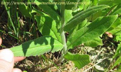 Dame's-rocket-leaf
