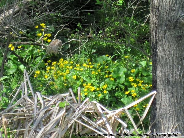 Marsh Marigold, Caltha palustris - Weekly Weeder #45 - range and identification, role as a wildlife habitat, uses for food and medicine.