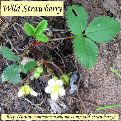 Wild Strawberry, Fragaria virginiana - Weekly Weeder #43 - range and identification, wildlife uses, value for food and medicine.