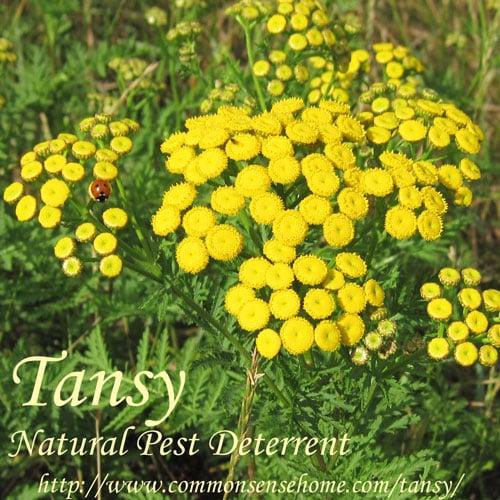 Tansy - Natural Pest Deterrent