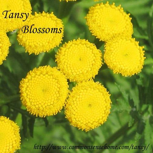 tansy-blossoms