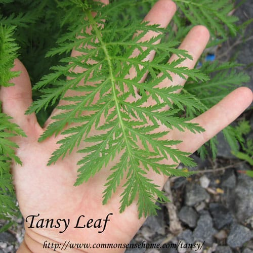 tansy-leaf