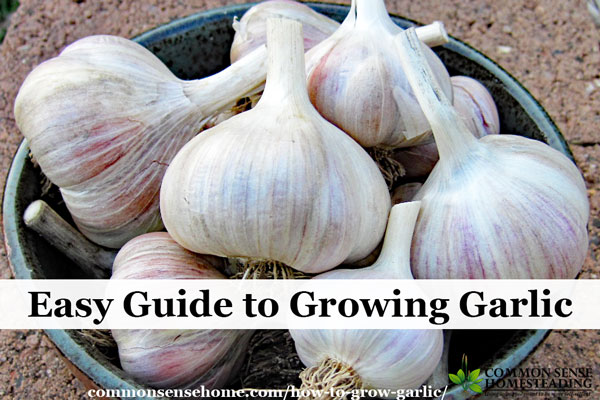 Learn how to grow garlic and get two harvests from one plant with yummy garlic scapes. Includes storage tips and explanation of garlic types.