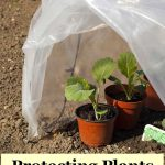 protecting broccoli plants from frost with plastic low tunnel