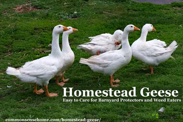 Homestead Geese – Easy to Care for Barnyard Protectors and Weed Eaters