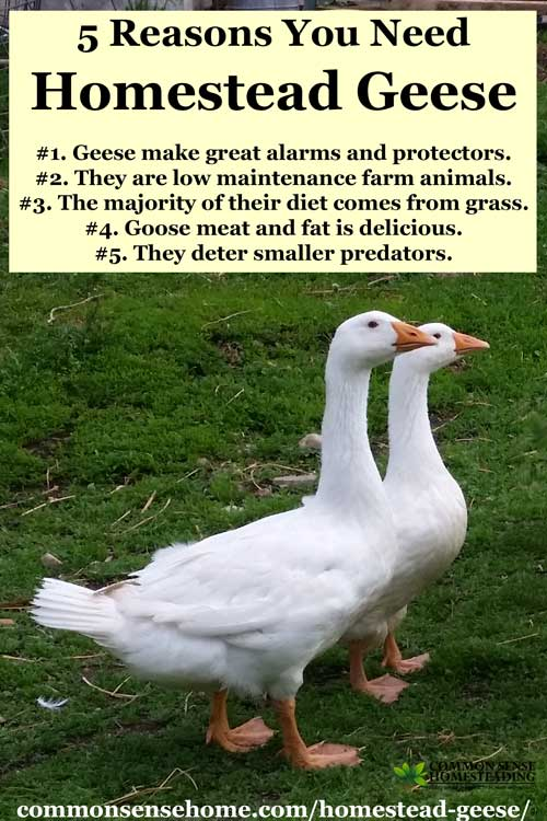 Homestead Geese Easy To Care For Barnyard Protectors And
