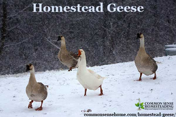 Homestead Geese - Which Goose Breed Should I Get? When Should You Get Geese? What Do Geese Need for Shelter & Food? Are Geese Aggressive
