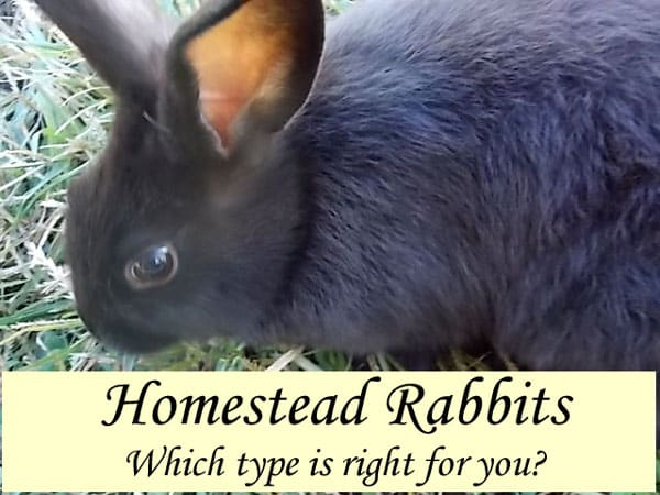 Homestead Rabbits - Which type is right for you?  Raising rabbits is great for a small homestead because they take up very little space, make no noise and won't disturb neighbors.